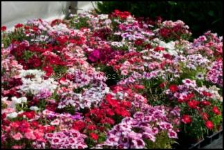 Les serres fleuries de kermenguy horticulture irvillac - Oeillet de chine ...