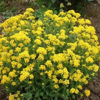 Les serres fleuries de kermenguy horticulture irvillac for Fleurs de rocaille vivaces