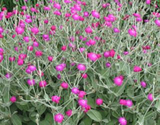 Les serres fleuries de kermenguy horticulture irvillac - Coquelourde des jardins lychnis coronaria ...